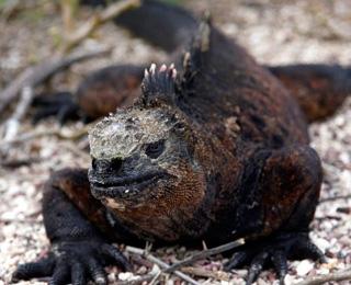 Iguana in Galapagos Island
