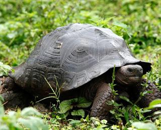 Giant Tortoise in Galapagos Island