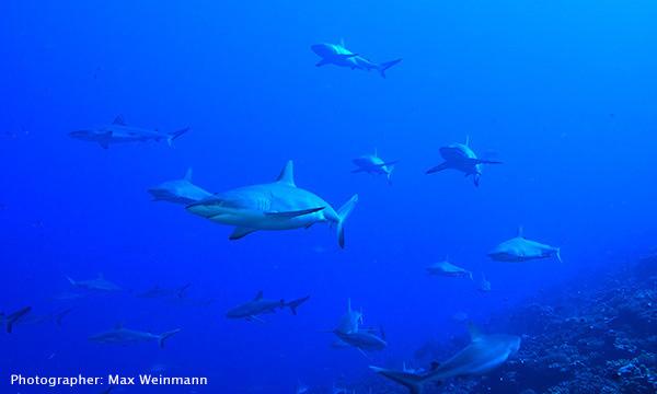 Sharks in Tahiti