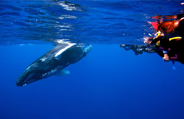 Snorkeling with whale in Silver Bank, Dominican Republic