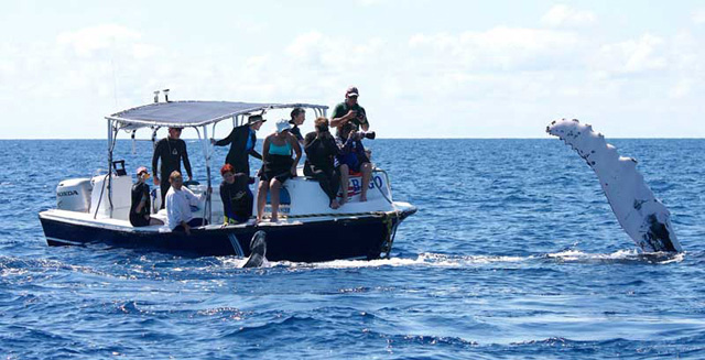 Whale watching in Silver Bank, Dominican Republic