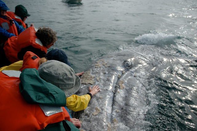 Gray whale watching in Baja, Mexico