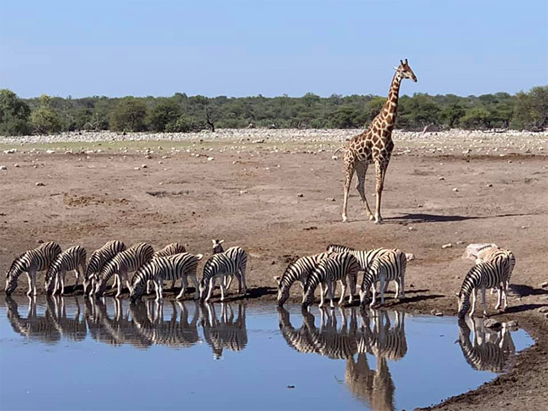 Giraffes seen in Etosha National Park in Namibia