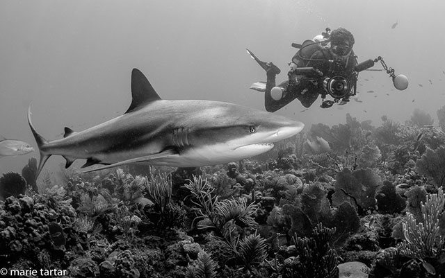 Caribbean Reef shark - Garden of the Queen Trip Report
