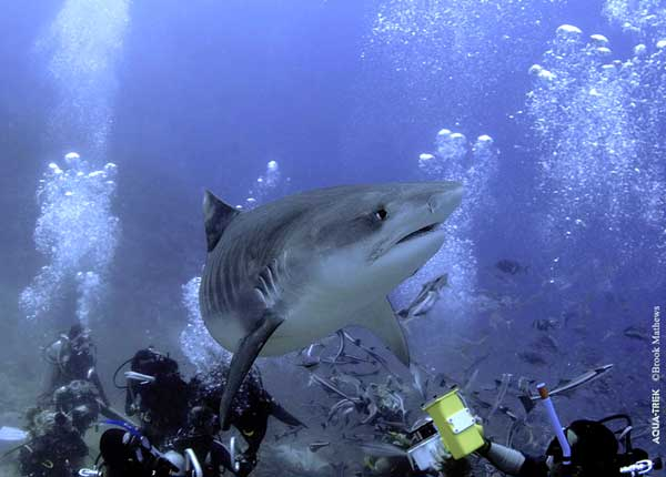 Shark Diving - Fiji Dive Tours - Dive Discovery Fiji Islands