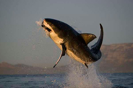 Flying Great White Sharks in South Africa
