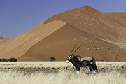 Gemsbok in Sossusvlei, Namibia.  Photographed by Dana Allen