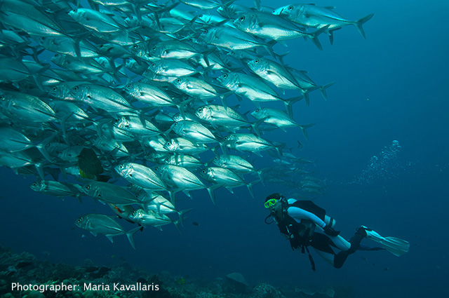 Giant Trevally photo by Maria Kavallaris