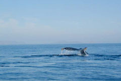 Combo Gray Whales & Blue Whale Adventure, February 25 - March 3 2014 Group Trip