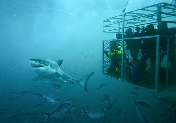 Guadalupe Great White Shark Tours