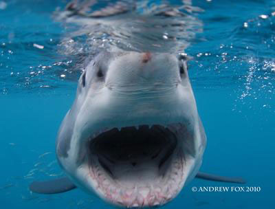 Great White Shark Cage Diving, South Australia  - Dive Discovery Australia