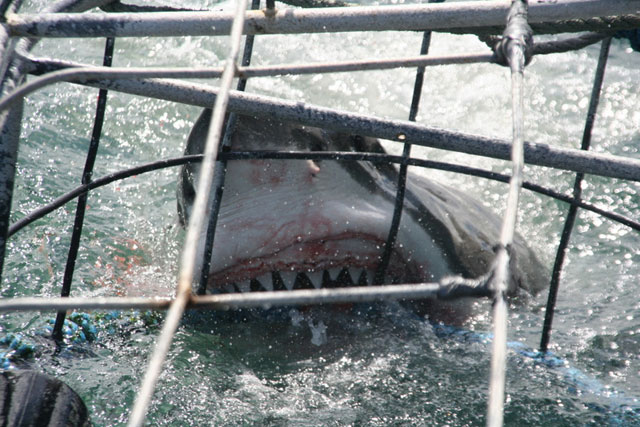 Great White Shark Cage Diving - South Africa Diving - Dive Discovery South Africa