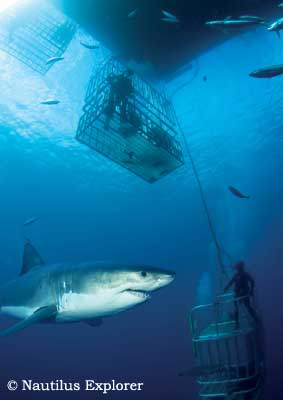 Great White Shark Cage Diving, Isla de Guadalupe, Mexico