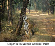 Tiger in Kanha National Park - Dive Discovery India