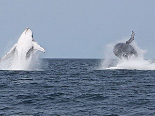 Humpback whales - Hotel Tofo Mar - Inhambane, in Mozambique