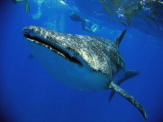 Whaleshark - Hotel Tofo Mar - Inhambane, in Mozambique