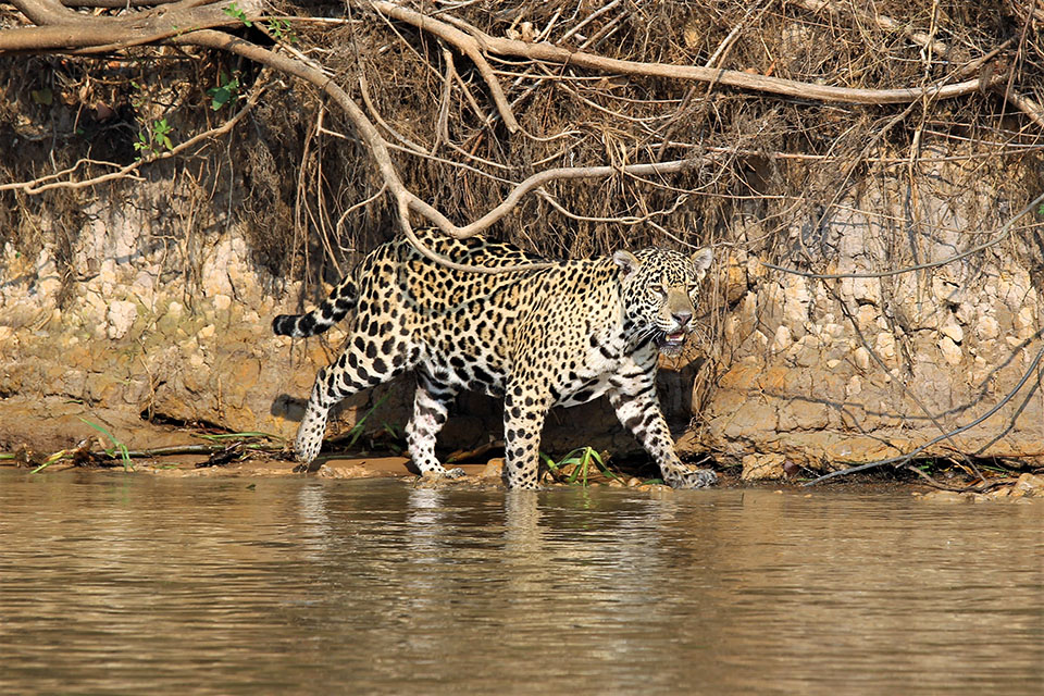 North Pantanal Jaguar Safari in Brazil, 8 Days