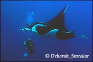 Mantas and diver - Diving Socorro Islands