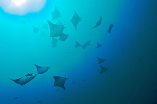 Eagle rays in Galapagos