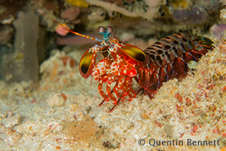 Mantis shrimp - Komodo underwater