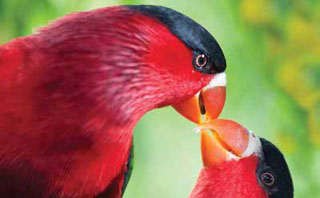 Bird of Paradise - Bird Watching, PNG Adventures, Papua New Guinea
