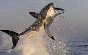 Flying Great White Sharks, Seal Island, South Africa, Cape Town