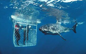 Great White Shark Cage Diving, Gansbaai South Africa