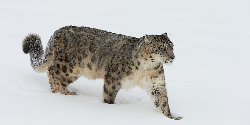 Snow Leopard in Ladakh