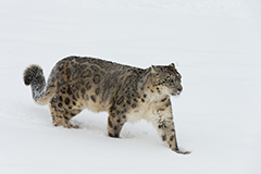 Snow Leopard Expedition in Ladakh - March 6-18 2018 Group Trip