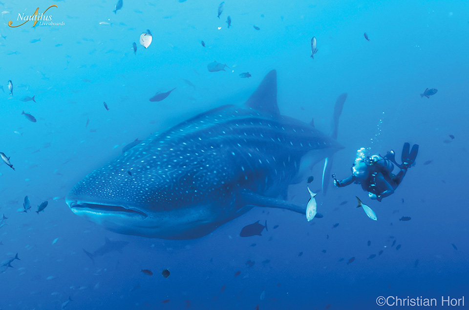 Whale shark in Socorro