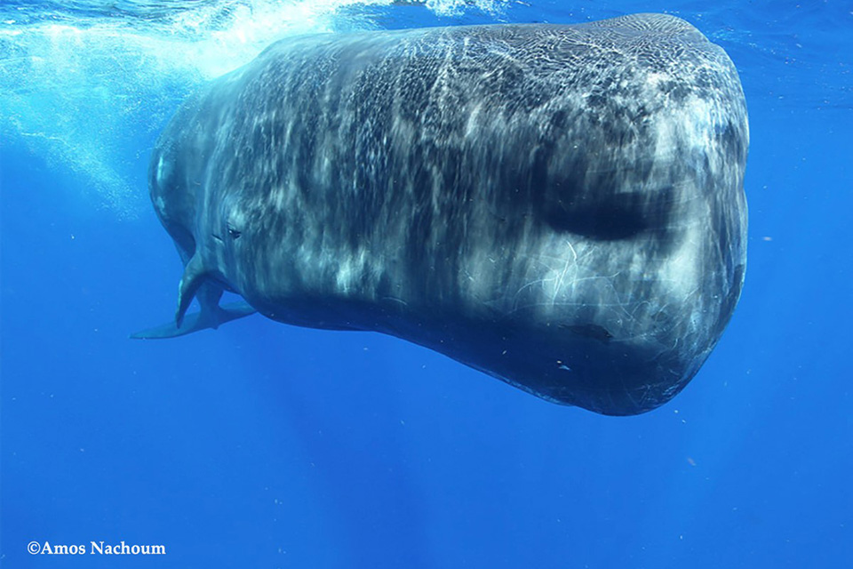 Sperm Whales in Dominica, October 20-26 2021 Photo Expedition