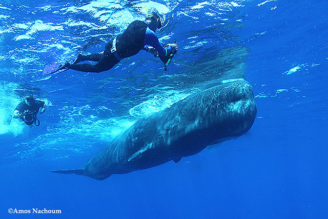 Sperm Whales with snorkelers in Dominica