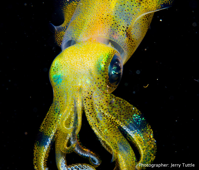 Squid photo by Jerry Tuttle