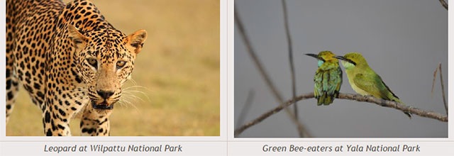 Sri Lanka travel destinations - Leopard at Wilpattu National Park - Green Bee-eaters at Yala National Park