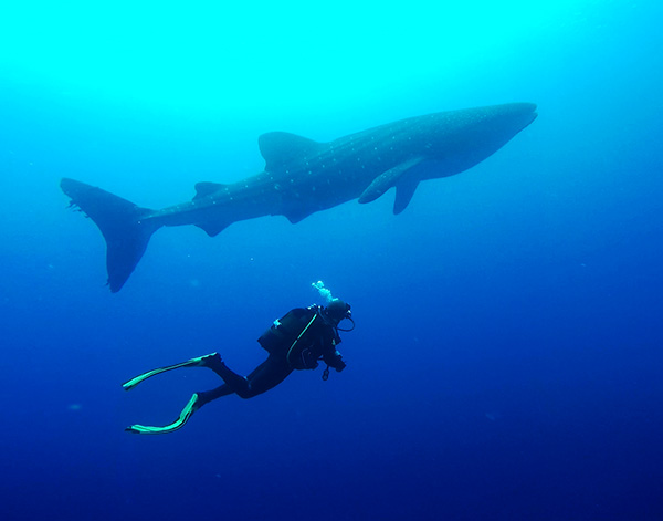 Whale shark at St Helena Island