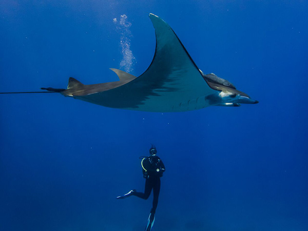 Manta Ray at St Helena Island