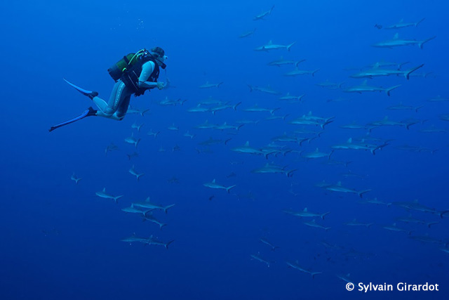 Sharks and a diver - The Best Diving in Tuamotos