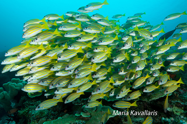 Yellow stripped snappers photo by Maria Kavallaris