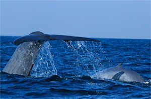 Blue Whale mother and calf off Mirissa
