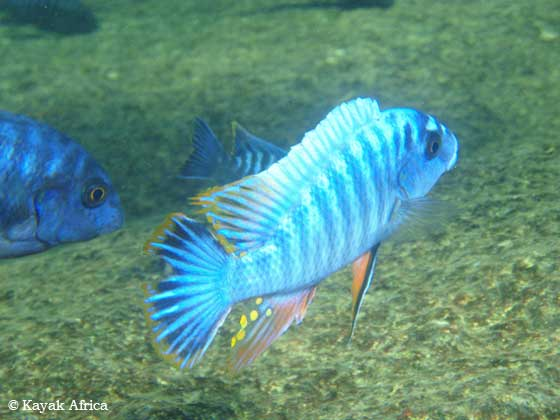 Cichlids - Diving in Lake Malawi