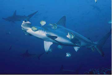 Image Gallery mutualism shark