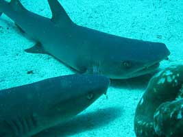 sharks at Manuleta Cocos Island