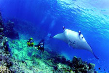 manta ray - diving Tahiti
