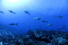 Diving with sharks in Tahiti