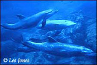 Dolphin Les Jones
