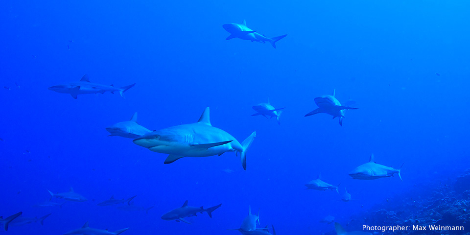 Gray reef sharks in Rangiroa - Tahiti