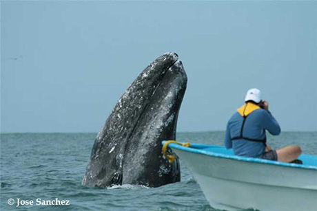 Gray Whales Watching in Baja Mexico