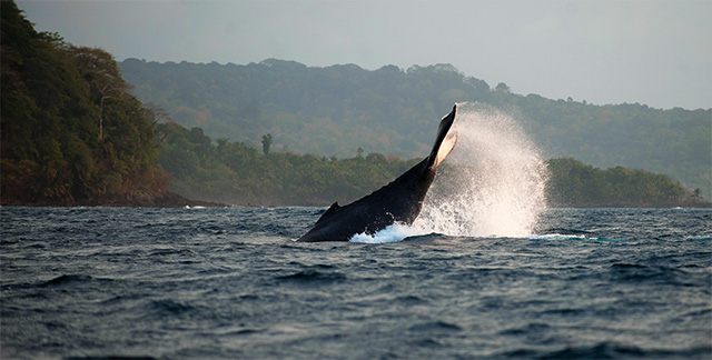 humpback whale in São Tomé and Príncipe