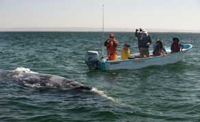 Grey Whale Watching & Camping, Baja, Mexico - Dive Discovery