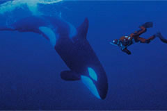 Snorkelling with Orcas